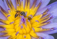 Abeja en la flor de loto en tiro macro Imágenes de archivo libres de regalías