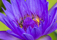 Abeja en la flor de loto en tiro macro Fotos de archivo libres de regalías
