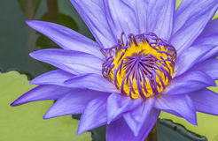 Abeja en la flor de loto en tiro macro Imagenes de archivo