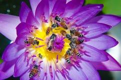 Abeja en la flor de loto púrpura que florece en el verano. Foto de archivo