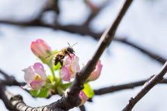 Abeja en la flor de la manzana con polen en primavera Apple florece mac Fotografía de archivo