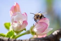 Abeja en la flor de la manzana con polen en primavera Apple florece mac Imágenes de archivo libres de regalías