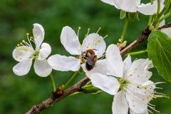 Abeja en la flor de la manzana Manzano Floreciente Foto de archivo