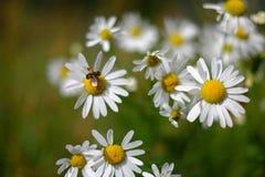 Abeja en la flor de la manzanilla Imagen de archivo libre de regalías