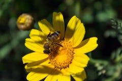 Abeja en la flor de la manzanilla Día asoleado Primavera Imagen de archivo libre de regalías