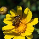 Abeja en la flor de la manzanilla Día asoleado Primavera Fotos de archivo