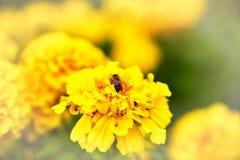 Abeja en la flor de la maravilla que florece en el jardín Imagenes de archivo