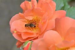 abeja en la flor, abeja de la miel, Fotografía de archivo libre de regalías
