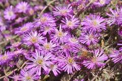 Abeja en la flor de plantas suculentas Fotografía de archivo