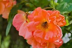 Abeja en la flor de la rosa Imagen de archivo