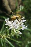 Abeja en la flor de Rosemary Imagen de archivo libre de regalías