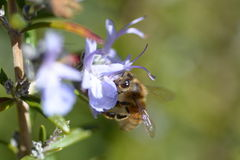 Abeja en la flor de Rosemary Imágenes de archivo libres de regalías