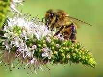 Abeja en la flor de Rosemary Foto de archivo libre de regalías