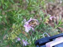 Abeja en la flor de Rosemary Fotografía de archivo