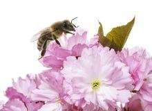 abeja en la flor de Sakura Fotos de archivo
