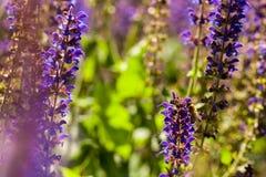 Abeja en la flor de Salvia Fotografía de archivo