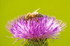 Abeja en la flor de un cardo Foto de archivo libre de regalías