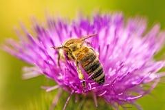 Abeja en la flor de un cardo Imagenes de archivo
