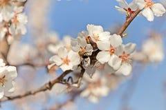 Abeja en la flor del árbol frutal Imagen de archivo