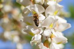 Abeja en la flor del acacia Imágenes de archivo libres de regalías