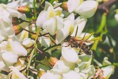 Abeja en la flor del acacia Fotos de archivo libres de regalías