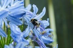 Abeja en la flor del Agapanthus Fotografía de archivo