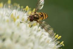 Abeja en la flor del ajo Imagen de archivo libre de regalías