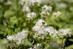 Abeja en la flor del ajo salvaje Imagen de archivo libre de regalías