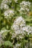 Abeja en la flor del ajo salvaje Imagen de archivo