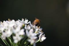 Abeja en la flor del allium Imagen de archivo libre de regalías