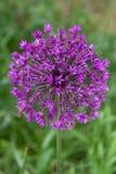 Abeja en la flor del allium (christophii del allium) Imagen de archivo libre de regalías