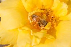 Abeja en la flor del amarillo de la rosa Imagen de archivo
