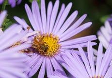 Abeja en la flor del aster Fotos de archivo
