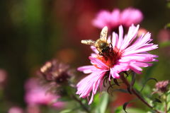 Abeja en la flor del aster Imagen de archivo