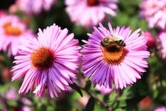 Abeja en la flor del aster Imagenes de archivo