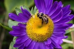 Abeja en la flor del aster Foto de archivo