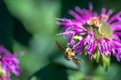 Abeja en la flor del bálsamo de abeja en luz del sol Imágenes de archivo libres de regalías