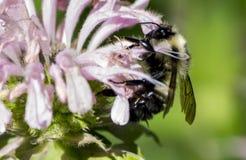Abeja en la flor del bálsamo de abeja Imagen de archivo libre de regalías