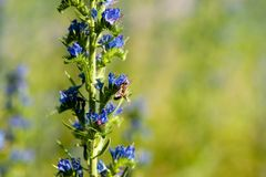 Abeja en la flor del blueweed foto de archivo