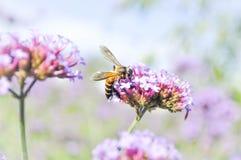 Abeja en la flor del bonariensis de la verbena en fondo de la falta de definición Foto de archivo libre de regalías