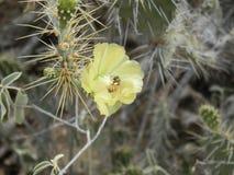 Abeja en la flor del cactus Fotos de archivo libres de regalías