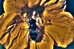 Abeja en la flor del Calendula Imagenes de archivo
