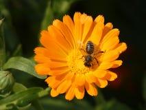 Abeja en la flor del Calendula Officinalis de la maravilla Foto de archivo libre de regalías
