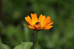 Abeja en la flor del Calendula Officinalis de la maravilla Abeja dentro de la flor de color naranja en el brillo del sol Fotos de archivo libres de regalías