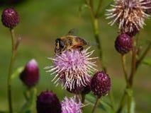Abeja en la flor del cardo en otoño Foto de archivo libre de regalías