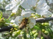Abeja en la flor del cerezo floreciente Imágenes de archivo libres de regalías