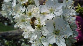 Abeja en la flor del cerezo floreciente Fotos de archivo libres de regalías