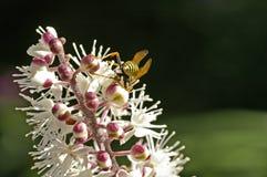 Abeja en la flor del Cimicifuga Fotos de archivo