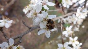 Abeja en la flor del ciruelo del árbol con el brote Imagen de archivo libre de regalías