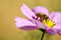 Abeja en la flor del cosmos Foto de archivo libre de regalías